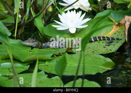 Young American Alligator mississippiensis & Fragrant White Water Lily SE USA - Stock Photo