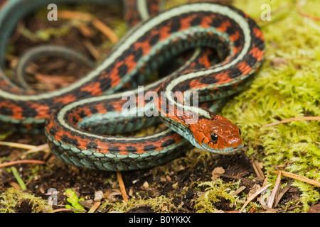 California Red sided Garter Snake Thamnophis sirtalis infernalis California United States - Stock Photo