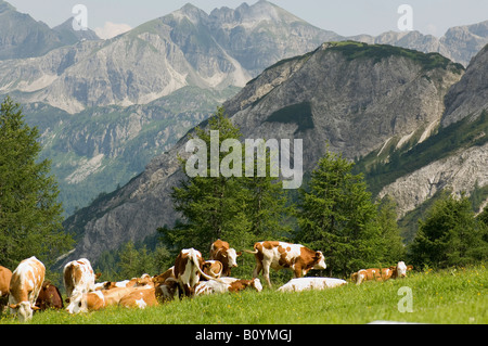 Austria, Salzburger Land, Herd of cattle grazing in a field - Stock Photo