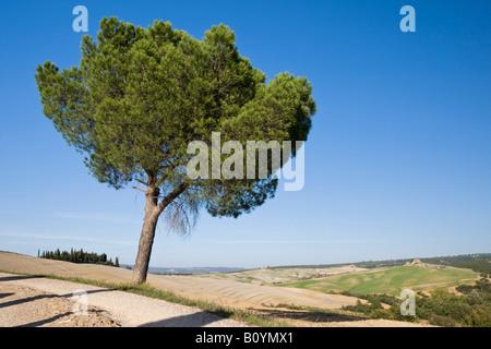 Italy, Tuscany, Pine tree - Stock Photo