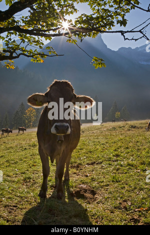 Austria, Tirol, Karwendel, Cows on meadow - Stock Photo