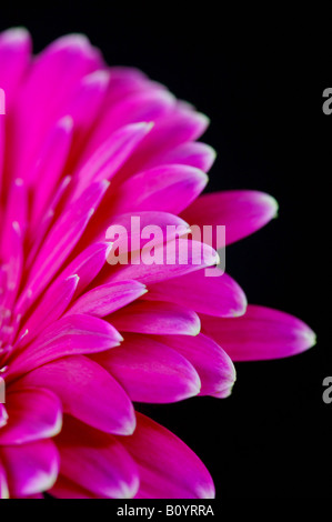 A pink gerbera isolated against a black background - Stock Photo