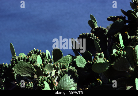 Cactus. Ios Island, Greece. - Stock Photo