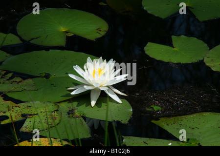 Fragrant White Water Lily Nymphaea odorata North America - Stock Photo
