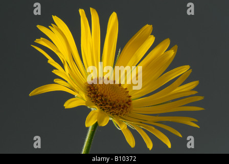 Leopards bane Doronicum pardalianches yellow flower against studio grey background - Stock Photo