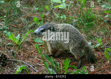 Baby Groundhog or Woodchuck Marmota monax Eastern North America - Stock Photo