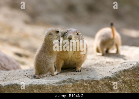 two black tailed Prairie dogs - Cynomys ludovicianus - Stock Photo