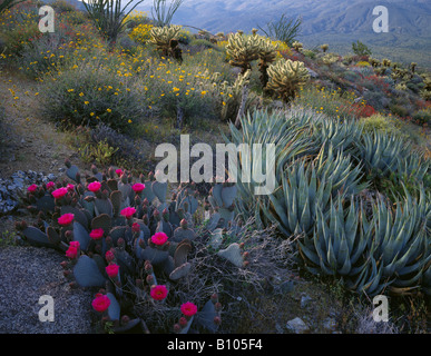 Beavertail Cactus blooming in Anza Borrego State Park - Stock Photo