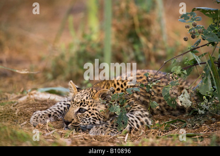 Closeup Cute Baby Leopard cub playing crouching watching intently ready to pounce by green bush face in sunlight - Stock Photo