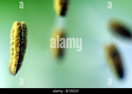 Amaryllis pistil - Stock Photo