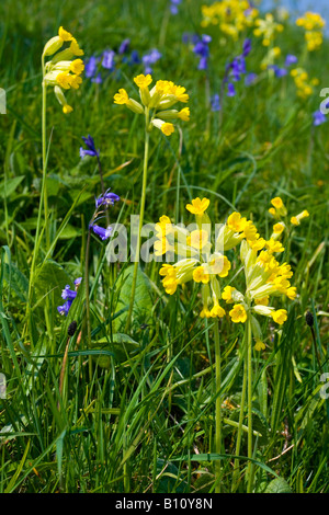 Close up of cowslip flower also known as primula veris - Stock Photo