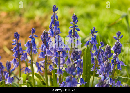 Spanish bluebells growing in a garden in May - Stock Photo
