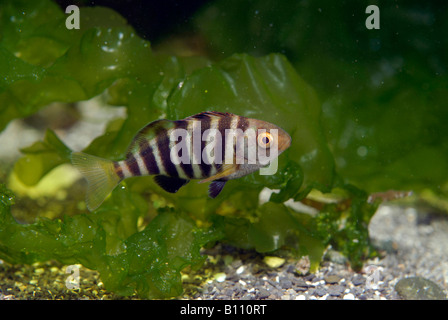 juvenile Fish between Kelp Tasmania Australia - Stock Photo