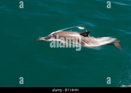 Long-beaked Common Dolphin (Delphinus capensis) Sea of Cortez, Baja California MEXICO - Stock Photo