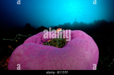 Pink anemonefishes in Magnificent Anemone Amphiprion perideraion Heteractis magnifica Bali Indian Ocean Indonesia - Stock Photo