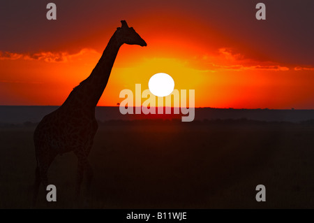 Masai Giraffe Watching Sunrise in the Masai Mara, South-Western Kenya - Stock Photo