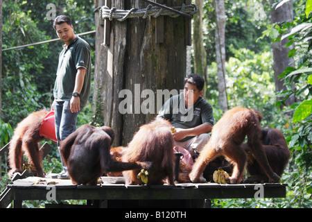 Orangutans Being Fed At Sepilok Sanctuary, Sabah, Malaysian Borneo - Stock Photo