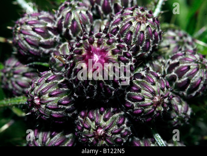 Spear Thistle buds (Cirsium vulgare) - Stock Photo