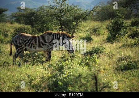 African Zebra also known as Grevy's Zebra found in Kenya - Stock Photo
