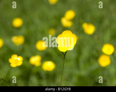 Buttercup - Stock Photo