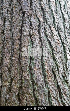 European Larch (Larix decidua) bark close up mature tree Perthshire Big Tree Country Scotland UK Europe May - Stock Photo