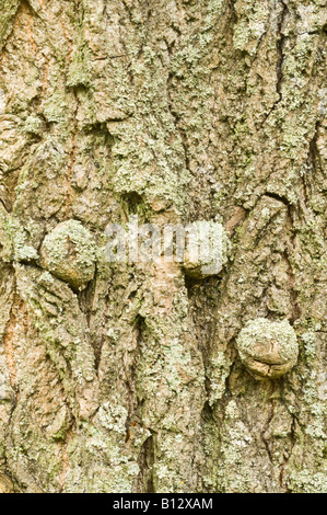Canadian poplar Populus x canadensis Eugenei close up of the bark tree growing in Scotland UK - Stock Photo