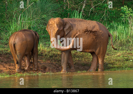 Two wild Indian elephants giving themselves a cooling 'mud bath' Periyar nature reserve Thekkady Kerala India - Stock Photo