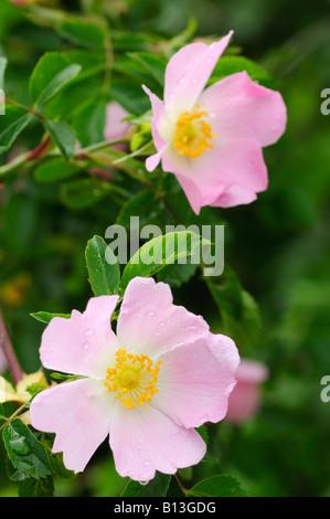 Dog Rose, Rosa Canina flowers - Stock Photo