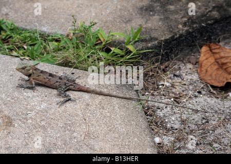 Lizard [Bandos Island, Kaafu Atoll, Maldives, Asia].                                                            - Stock Photo