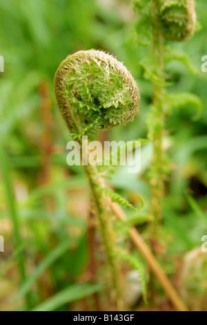 New fern leaf unfurling. - Stock Photo