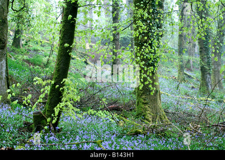 OAK AND BEECH WOODLAND IN EARLY MAY ON EXMOOR SOMERSET WITH BLUEBELLS - Stock Photo
