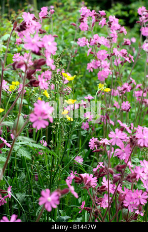 SILENE DIOICA RED CAMPION WITH RANUNCULUS ACRIS MEADOW BUTTERCUP IN A DEVON HEDGE - Stock Photo