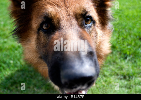 Close up portrait of a German Shepherd dog - Stock Photo