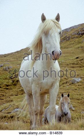 Eriskay Ponies on the Isle of Eriskay Outer Hebrides Scotland - Stock Photo