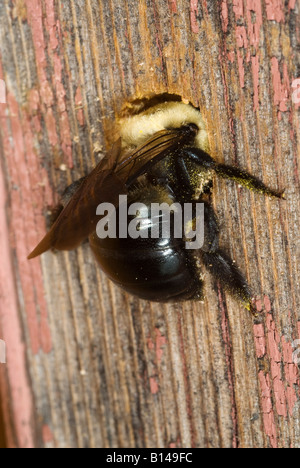 Female Carpenter Bee Xylocopa Virginica Excavating A Nesting Tunnel In Wood