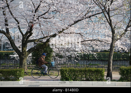 Kyoto, Japan. A man cycles on the pavement under the cherry blossom along the canal around Okazaki Park - Stock Photo