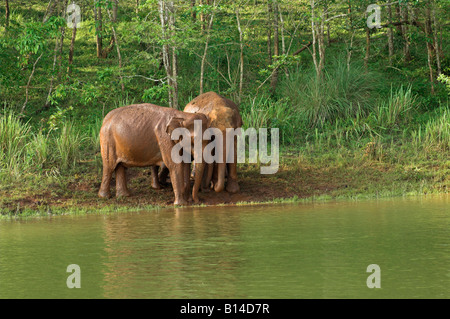 Wild Indian elephants giving themselves a cooling mud bath at side of lake in Periyar nature reserve Thekkady Kerala - Stock Photo