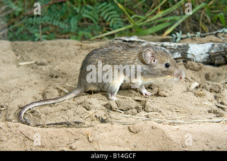 Mexican Spiny Pocket Mouse Liomys irroratus - Stock Photo