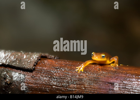 Coastal Range newt (Taricha torosa torosa) - Stock Photo