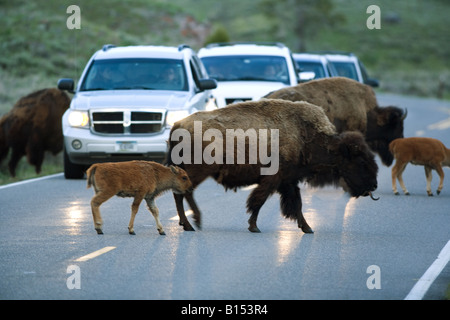 American bison (Bison bison) in Yellowstone National Park, Wyoming. - Stock Photo