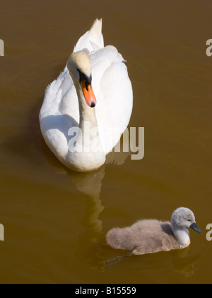 Female Mute Swan with One Fluffy Grey Cygnet on Trent and Mersey Canal near Rode Heath Cheshire England United Kingdom - Stock Photo
