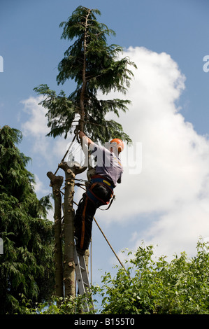 Tree surgeon cutting down a leylandii tree in a garden - Stock Photo