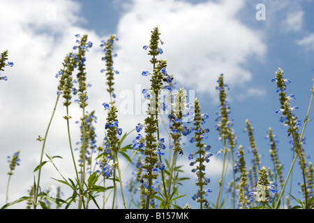 Bright blue Bog Sage (Salvia uliginosa) flowers with bright blue sky in background. - Stock Photo