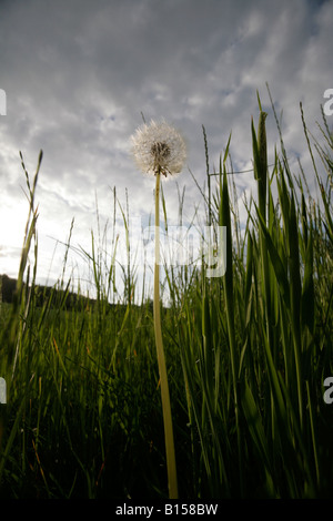 Grass and a dandelion clock blowball in a meadow backlit at sunset under a cloudy sky in Reinsdorf, Germany - Stock Photo