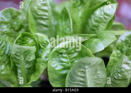 Growing little gem lettuces at home in a kitchen garden - Stock Photo