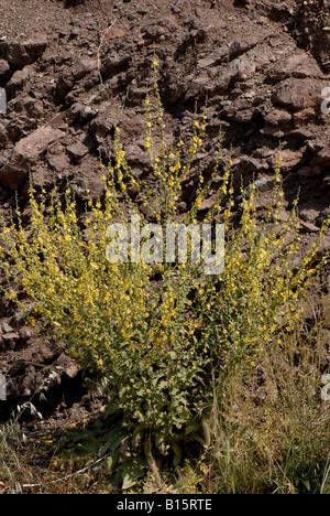 Mullein Verbascum sinuatum branched plant in full flower Crete - Stock Photo