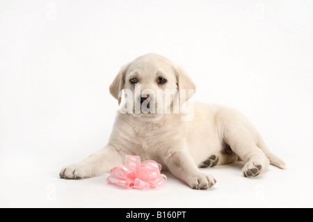 female lab puppy with pink bow ribbon on a white background - Stock Photo