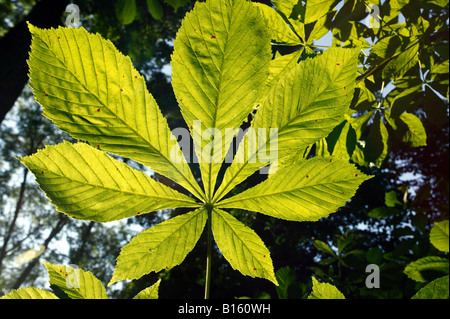 Close-up shot of a Horse Chestnut Leaf viewed from the underside and back-lit by strong sunlight - Stock Photo