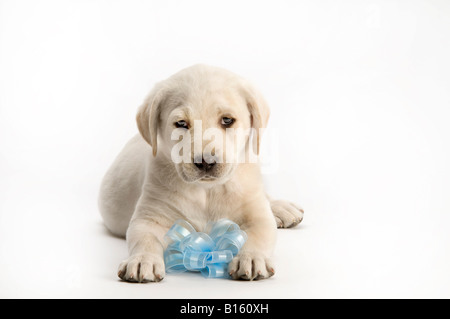 male lab puppy on white with blue ribbon - Stock Photo