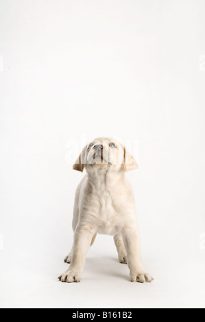 white lab puppy standing on white background - Stock Photo